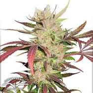 Dutch Passion Seeds Masterkush