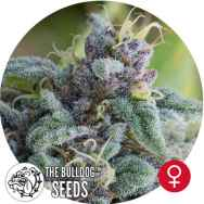 The Bulldog Seeds Mataro Blue