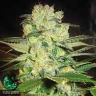 World of Seeds Medical Collection Afghan Kush x White Widow