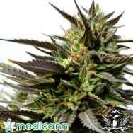 Medicann Seeds Blue Blood
