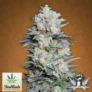 FastBuds Seeds Mexican Airlines AUTO