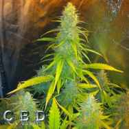 CBD Seeds Mexican Haze