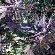 Short Stuff Seeds Mi5