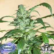 Flash Autoflowering Seeds MI6 SuperAuto F1
