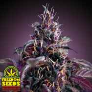 Freedom Seeds Midnight Express AUTO