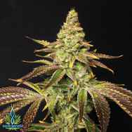 Exotic Genetix Seeds Mint Chocolate Chip