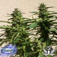 Flash Autoflowering Seeds Missile 33 SuperAuto F1