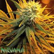 Nirvana Seeds Misty Kush