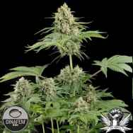Dinafem Seeds Moby Dick