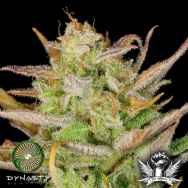 Dynasty Genetics Seeds Moose and Lobsta