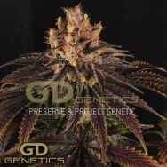 Green Devil Seeds Mr. Bubba