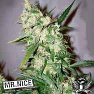 Mr Nice Seeds ASH (Afghan Haze x Afghan Skunk)