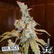 Mr Nice Seeds Afghan Haze