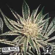 Mr Nice Seeds Black Widow