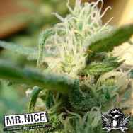 Mr Nice Seeds Angel Breath (Mango Haze x Afgan Haze)