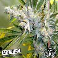 Mr Nice Seeds Critical Haze