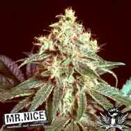 Mr Nice Seeds Devil