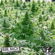 Mr Nice Seeds Dreamtime