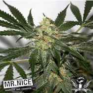 Mr Nice Seeds Early Haze (Early Queen x Afghan Haze)