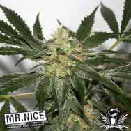 Mr Nice Seeds Early Skunk Haze (Early Pearl Skunk x Haze)