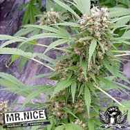 Mr Nice Seeds Early Skunk (Early Pearl x Skunk)