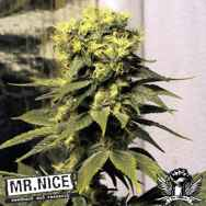 Mr Nice Seeds Early Queen