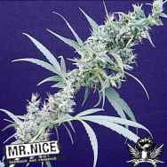 Mr Nice Seeds Nevilles Haze x Mango