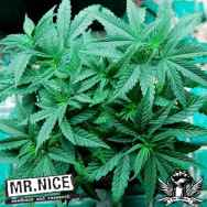 Mr Nice Seeds Ortega