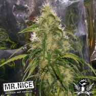 Mr Nice Seeds Shit