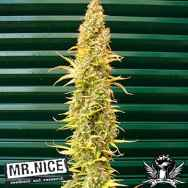 Mr Nice Seeds Spice