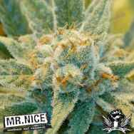 Mr Nice Seeds Super Silver Haze