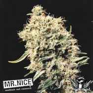 Mr Nice Seeds Medicine Man