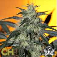 CH9 Seeds Citral x Pow33