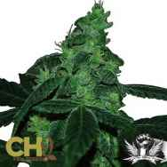 CH9 Seeds Toxic Blue 33