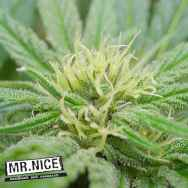 Mr Nice Seeds NHS (NL5/Haze x Skunk)