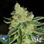 T H Seeds Cold Creek Kush