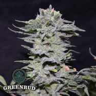 Greenbud Seeds NL 10 Early Version