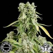 Dinafem Seeds Blue Cheese AUTOFLOWERING
