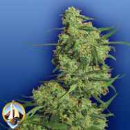 Flying Dutchmen Seeds Nepal Kush