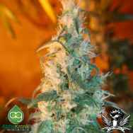 AlphaKronik Genes Seeds Sin City Line Nevada Privada