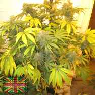 Connoisseur Genetics Seeds New York Haze Cookies