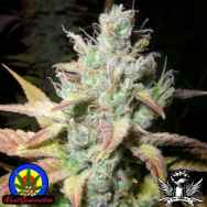 Next Generation Seeds Romulan Diesel
