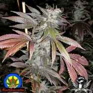 Next Generation Seeds Romulan Max