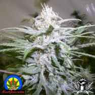 Next Generation Seeds Grapeskunk