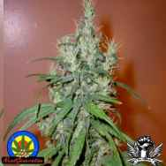 Next Generation Seeds Romulan Haze