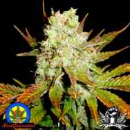 Next Generation Seeds Romulan x Hashplant