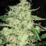 Super Strains Seeds Next of Kin