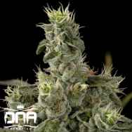 DNA Genetics Seeds Nicole Kush