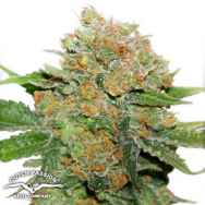 Dutch Passion Seeds Night Queen