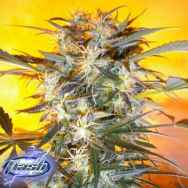 Flash Autoflowering Seeds Nirvana Sky